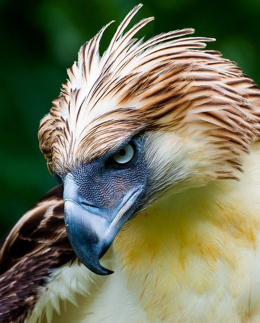 One_of_the_largest_and_most_powerful_eagles_in_the_world__the_Philippine_Eagle