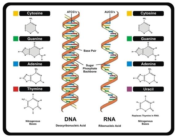 ما عليك معرفته حول الحمض النووي