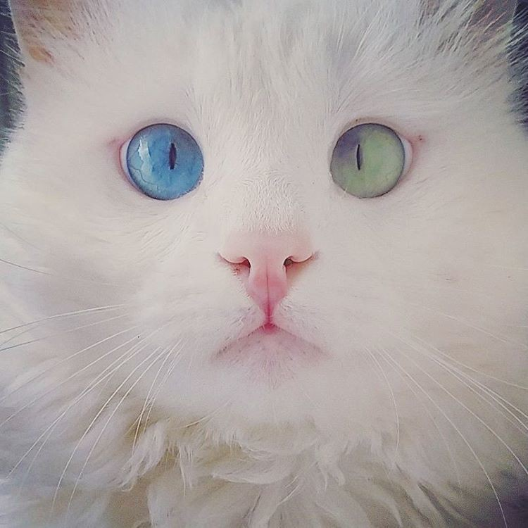 heterochromia-cat-cross-eyed-alos-17