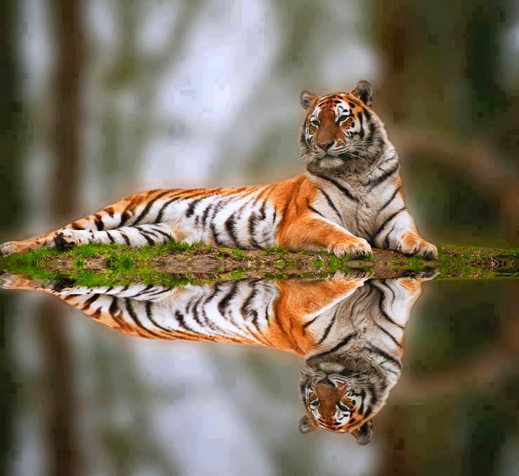 Wonderful_reflection_of_the_magnificent_Bengal_tiger.