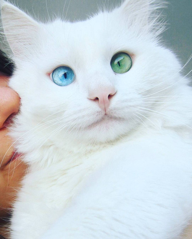 heterochromia-cat-cross-eyed-alos-5