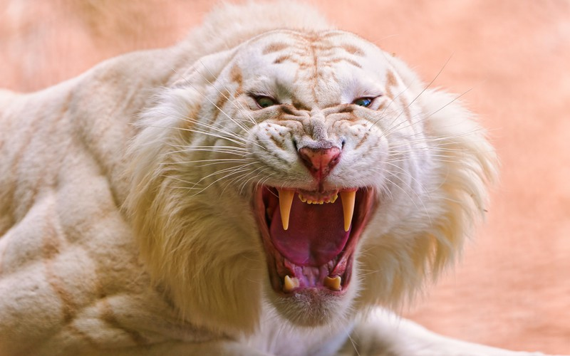 roaring_white_tiger-wide