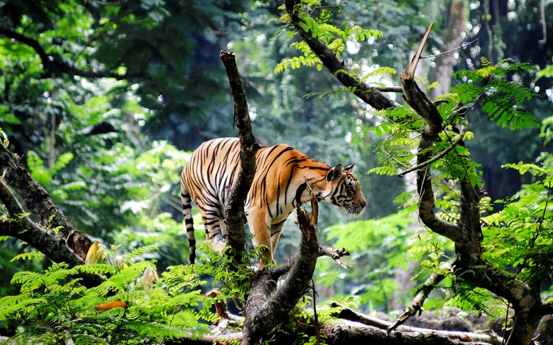 bengal_tiger_in_jungle-wide